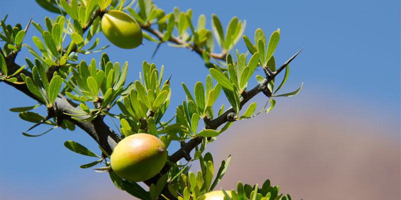 argan-frucht-pflanze.jpg