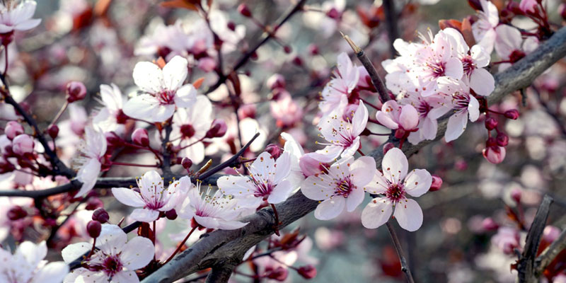 sakura-kirschbluete-herbst-japan.jpg
