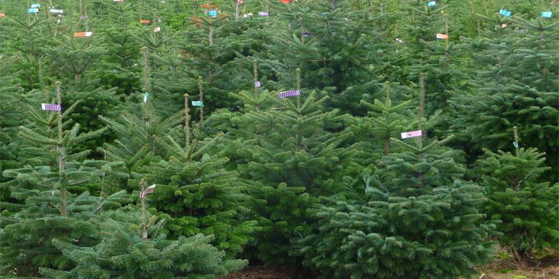 weihnachtsbaum-christbaum-plantage.jpg