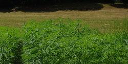 hanf-feld-cannabis-plantage.jpg