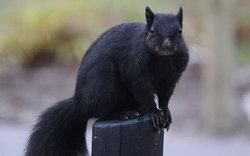 schwarzes-eichhoernchen-grauhoernchen-mutation.jpg