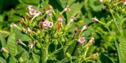 tabakpflanze-bluete.jpg