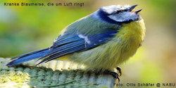 kranke-blaumeise.jpg